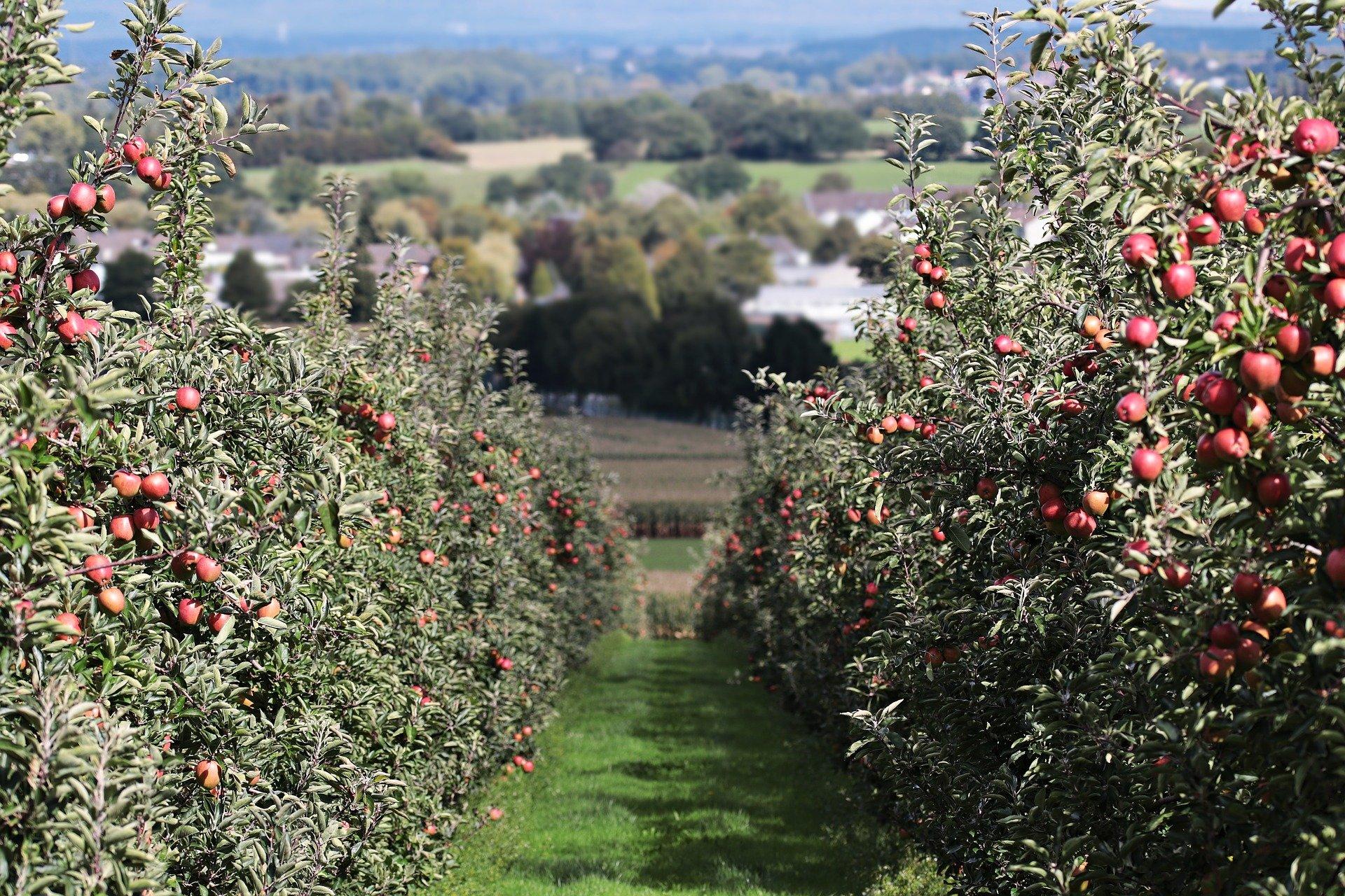 sidro di mele - Red Delicious