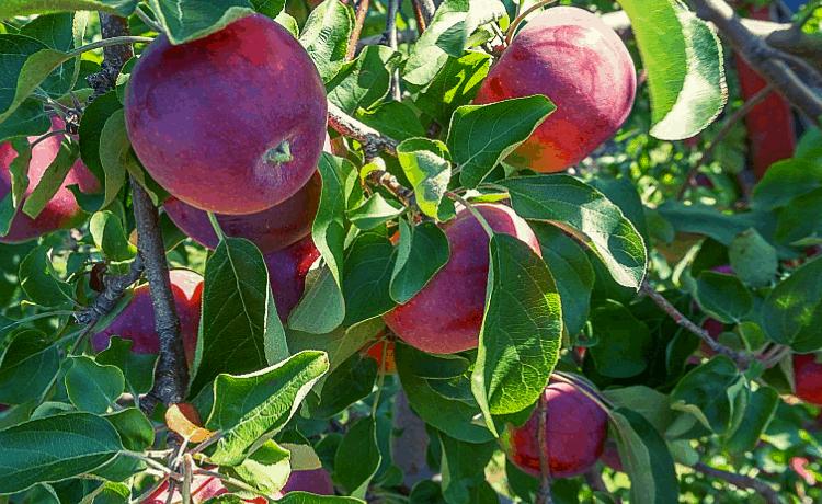 Calendario Potatura Alberi Da Frutto.Potatura Alberi Da Frutta Scopri Come Funziona